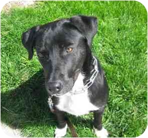 Labrador Retriever Mix Puppy for adoption in Berkeley, California - Saul