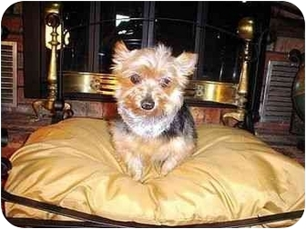 Yorkie, Yorkshire Terrier Dog for adoption in Choctaw, Oklahoma - Jodie/pending