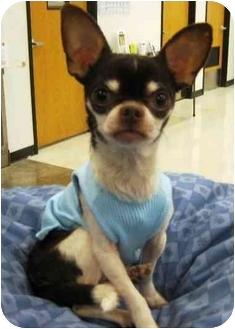 Chihuahua Mix Dog for adoption in Sugar Land, Texas - DJ