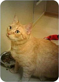 Domestic Shorthair Cat for adoption in Stuarts Draft, Virginia - Chelsea