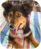 Border Collie/Collie Mix Dog for adoption in Wakefield, Rhode Island - KATIE