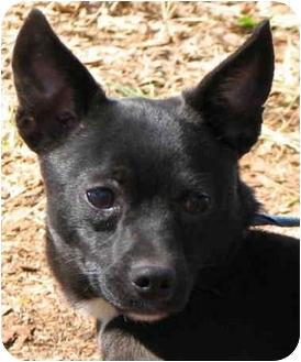 Chihuahua Dog for adoption in EASLEY, South Carolina - *TWINKY*