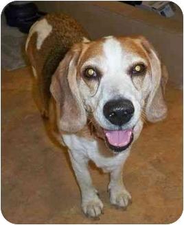 Beagle Dog for adoption in Portland, Oregon - Starsky