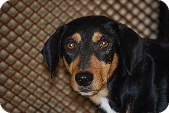 Dachshund Mix Dog for adoption in Hershey, Pennsylvania - Jasper