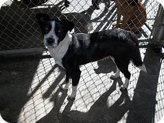 Labrador Retriever/Collie Mix Dog for adoption in Henderson, North Carolina - Nancy
