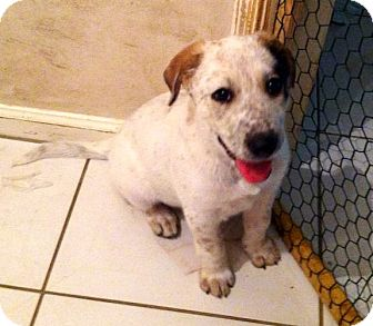 Catahoula Leopard Dog/German Shepherd Dog Mix Puppy for adoption in Houston, Texas - Buttercup