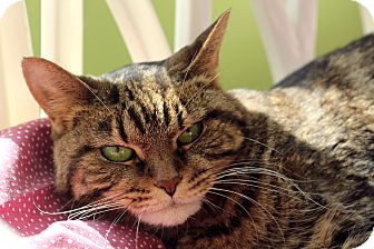 Domestic Shorthair Cat for adoption in Chicago, Illinois - Bird