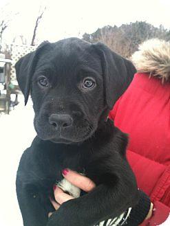 Labrador Retriever/Boxer Mix Puppy for adoption in Hadley, Michigan - Chablis-PENDING ADOPTION