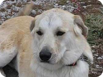 Great Pyrenees/Labrador Retriever Mix Dog for adoption in Indianapolis, Indiana - Maudie