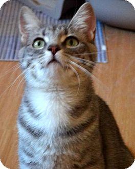 American Shorthair Kitten for adoption in Escondido, California - Reesie