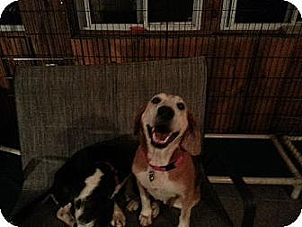 Beagle/Hound (Unknown Type) Mix Dog for adoption in Canterbury, New Hampshire - Cat