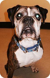 Boxer Mix Dog for adoption in Bellingham, Washington - Jack