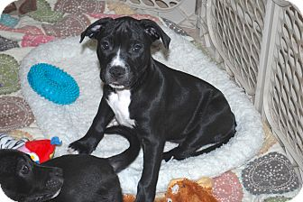 Labrador Retriever/Boxer Mix Puppy for adoption in Minneola, Florida - Frankie