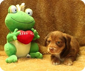 Dachshund/Terrier (Unknown Type, Small) Mix Puppy for adoption in Salem, New Hampshire - Fall