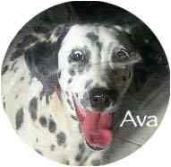 Dalmatian Dog for adoption in Mandeville Canyon, California - Ava