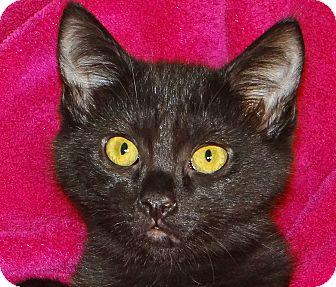 Domestic Shorthair Kitten for adoption in Renfrew, Pennsylvania - Mary Ellen