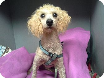 Toy Poodle Mix Dog for adoption in Hagerstown, Maryland - Dexter