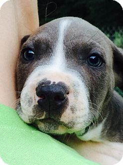 Labrador Retriever/Boxer Mix Puppy for adoption in knoxville, Tennessee - CHOPPER