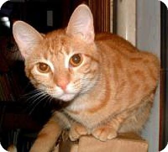 Domestic Shorthair Cat for adoption in Mission Viejo, California - Gonzo The Great