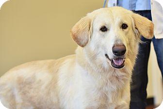 German Shepherd Dog Dog for adoption in Augusta, Maine - Taylor