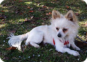 Chihuahua/Pomeranian Mix Dog for adoption in Encino, California - Eli