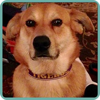 Labrador Retriever/Chow Chow Mix Dog for adoption in Greenfield, Wisconsin - SMILEY