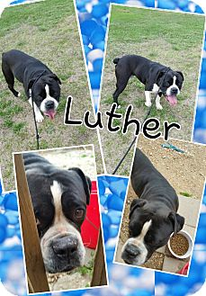 English Bulldog Mix Dog for adoption in Gainesville, Georgia - luther