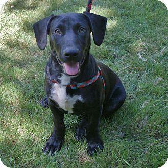 Great Dane/Labrador Retriever Mix Puppy for adoption in Baden, Pennsylvania - Louie