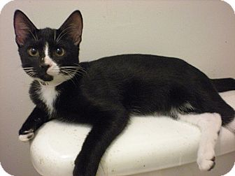 Domestic Shorthair Kitten for adoption in Tampa, Florida - Avery