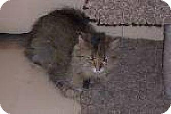 Domestic Mediumhair Cat for adoption in Newburgh, Indiana - lexi