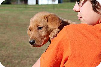 Redbone Coonhound/Labrador Retriever Mix Puppy for adoption in Harmony, Glocester, Rhode Island - Penne