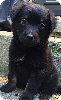 Australian Shepherd/Rottweiler Mix Puppy for adoption in Columbus, Ohio - Banxi