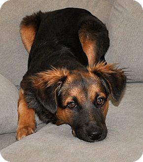 Spaniel (Unknown Type)/German Shepherd Dog Mix Puppy for adoption in Vista, California - Nadi