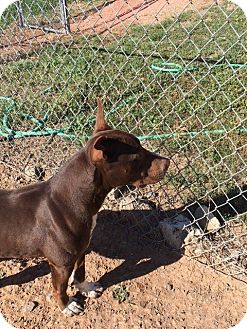 Pit Bull Terrier Mix Dog for adoption in Cedaredge, Colorado - Bryce