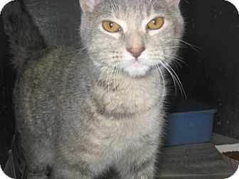 Domestic Shorthair Cat for adoption in Kankakee, Illinois - Arwen
