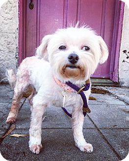 Maltese Dog for adoption in Los Angeles, California - Lindy Lou is a DREAM!