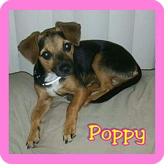 Chihuahua/Dachshund Mix Dog for adoption in Mesa, Arizona - Poppy