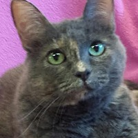 Domestic Shorthair Cat for adoption in Colfax, Iowa - Mia