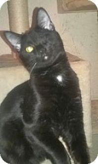 Domestic Shorthair Kitten for adoption in Colorado Springs, Colorado - Xander