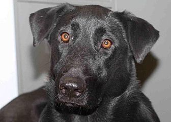 Labrador Retriever Dog for adoption in Rossville, Tennessee - Amazon