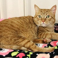 Domestic Shorthair Cat for adoption in Harrison, New York - Ginger