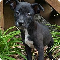 Adopt A Pet :: Lane - Bridgeton, MO
