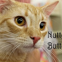 Domestic Shorthair Kitten for adoption in Wichita Falls, Texas - Nutter Butter