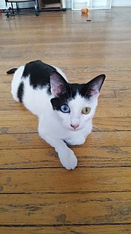 Domestic Shorthair Cat for adoption in Hoffman Estates, Illinois - Lola