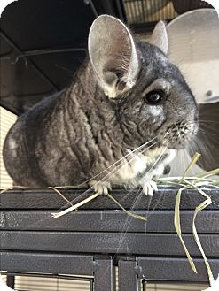 Chinchilla for adoption in Woodbine, New Jersey - Chilly