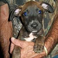 Adopt A Pet :: Teakie - Mansfield, TX