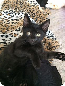 Domestic Shorthair Kitten for adoption in Indianapolis, Indiana - Bagheera