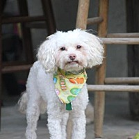 Adopt A Pet :: Cocoa Puff - Doylestown, PA