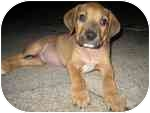 Boxer Mix Puppy for adoption in Navarre, Florida - Bryce