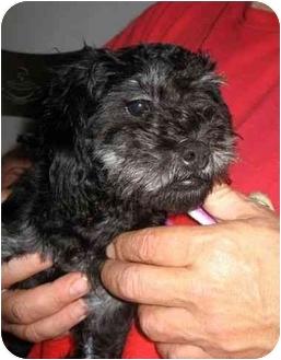 Poodle (Miniature)/Shih Tzu Mix Puppy for adoption in Cincinnati, Ohio - Bert: 7 pounds